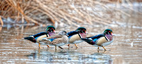 Wood Ducks December 2014