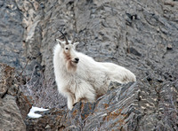 Rocky Mountain Goats 2015